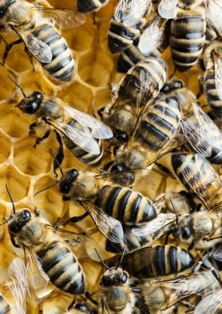 praiseworthy: Macro of working bees on honeycomb