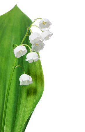 muguet: Lily of the valley isolated on white