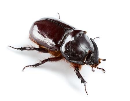 Rinoceronte escarabajo aislado en blanco