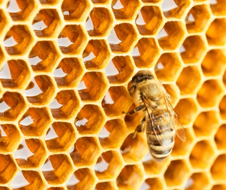 Bee in honeycomb full of honey