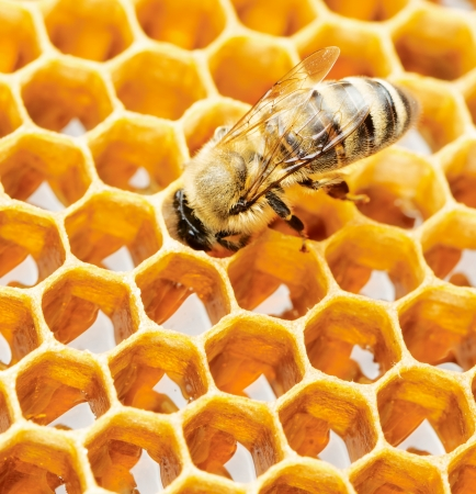 Working bee on honeycomb Imagens