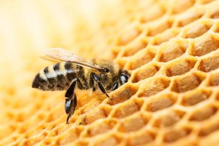 honey comb: Working bee on honeycomb Stock Photo