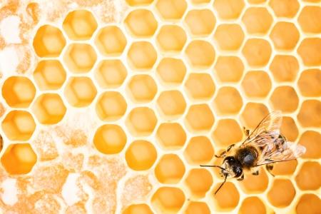 praiseworthy: Working bee on honeycomb Stock Photo