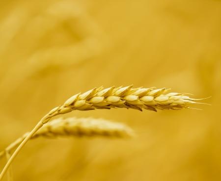 Grano amarillo listo para la cosecha Foto de archivo