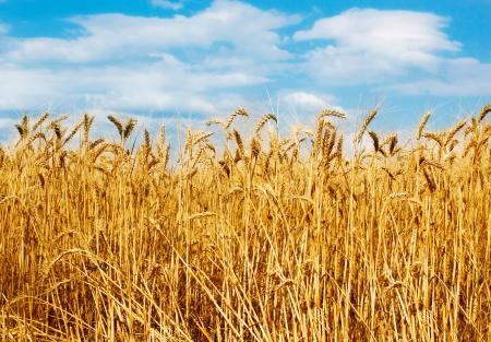 Golden campo de trigo con cielo azul de fondo Foto de archivo