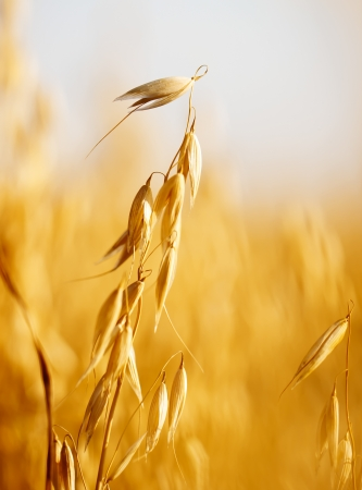 Close up view of oats in the field