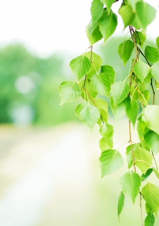 Summer background with green leaves of birch photo