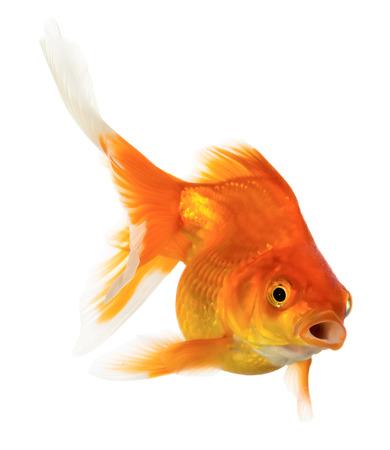 peces de colores: Peces de oro aislado en el fondo blanco