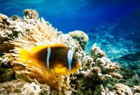 Clown fish with wind flower underwater Stock Photo - 23574843