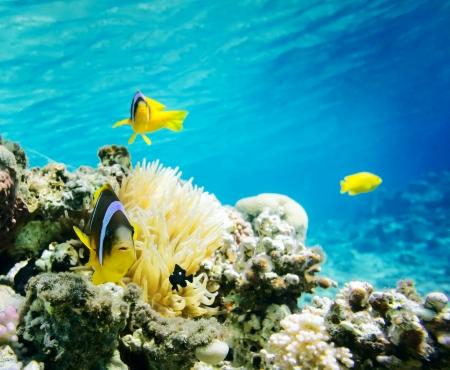 sea anemone: Clown fish with wind flower underwater