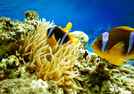 clown fish: Clown fish with wind flower underwater