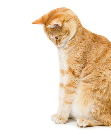 흰색 배경에 고립 된 빨간 고양이