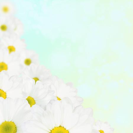Flores de primavera: la margarita blanca Foto de archivo