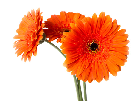 orange gerbera: Three Gerber daisy isolated on white background