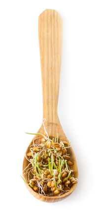 Grain sprouted wheat in wooden spoon isolated on white background