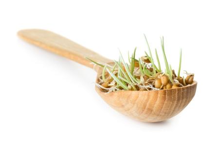 Grano germinado de trigo en la cuchara de madera aislada en el fondo blanco Foto de archivo