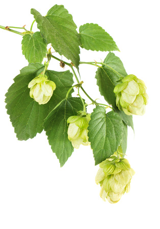 Hop plant branch isolated on white background photo