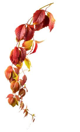 virginia: Wild grape autumn branch isolated on white background Stock Photo