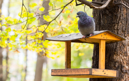 Hungry pigeon sitting on the bird feeders, autumn photo