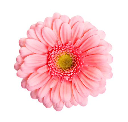 pink daisy: Pink daisy flower isolated on white background