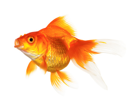 gold fish: Gold fish isolated on white background