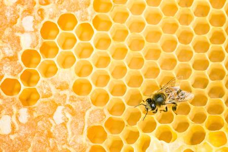 Working bee on wax honeycomb