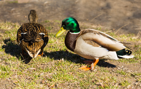 famale: two mallards or wild ducks, male and famale in the park