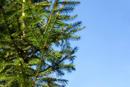 fir twig: Green fir twig over blue sky background