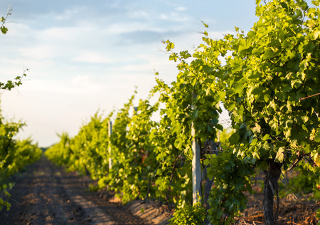 sunny season: Grapes leaves in a sunny vineyard