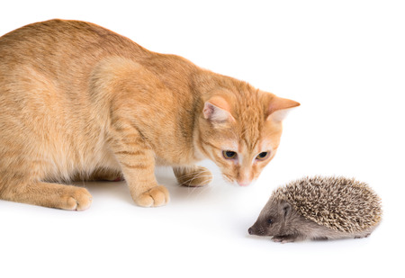 unsuspecting: Red cad and little hedgehog isolated on white background Stock Photo