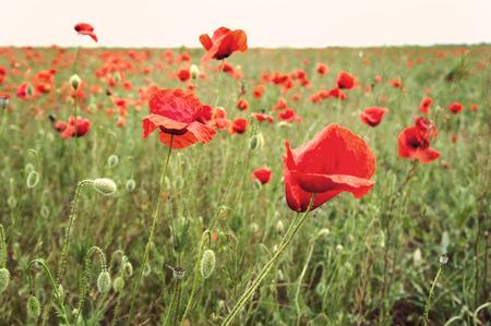 campo de flores: campo de flores de amapola, imagen de estilo retro Foto de archivo