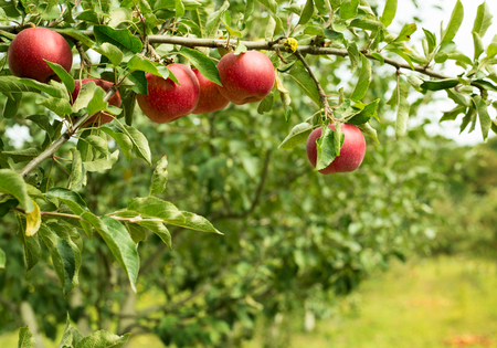 pomme rouge: Pommiers dans une rangée, avant la récolte Banque d'images