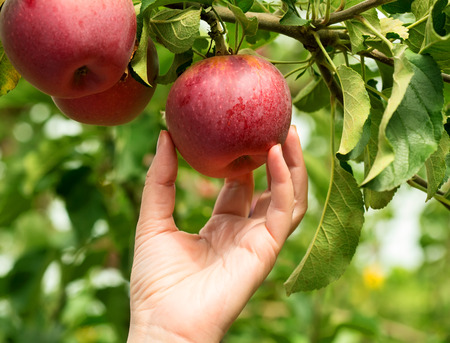 Woman hand picking a red ripe apple
