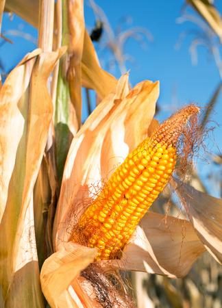 elote: Maduro seca mazorca de maíz amarillo en el campo. Día soleado de otoño
