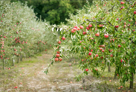 apple orchard: Apple orchard: fresh ripe fruits hanging on trees Stock Photo