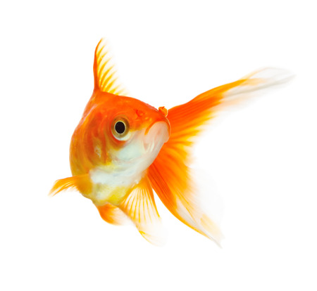 황금 물고기 흰색 배경에 고립