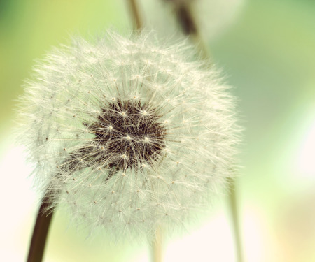 fluffy: Close up view of Dandelion on background green grass Stock Photo