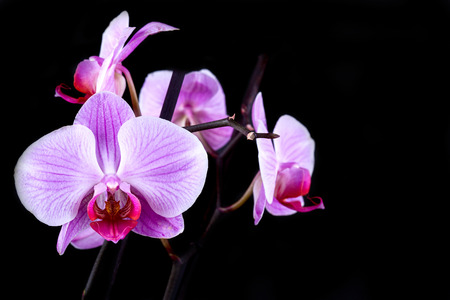 mothering: Pink cultivated orchid isolated over black background Stock Photo