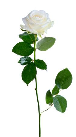 tige: Frais belle rose isolé sur fond blanc