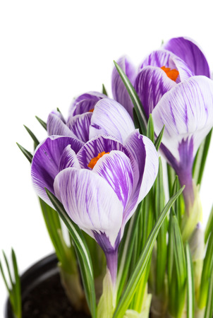 Spring crocus flowers isolated on white background. Selective focus Stock Photo
