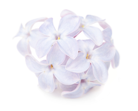 floral objects: Close up view of lilac flower isolated on white background