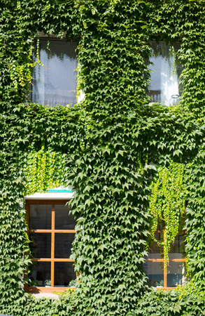 Wall of the building covered with green ivy growthes