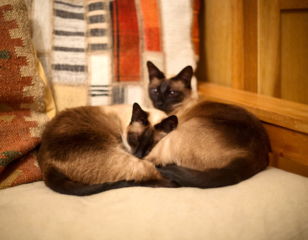 Two pretty siamese cats resting on a sofa Reklamní fotografie