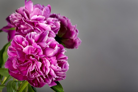 Fresh pink peony flowers on grey background