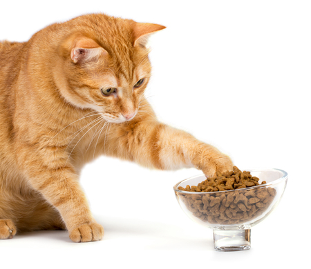 Red cat isolated on white background eats food from a bowl