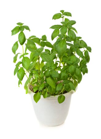 Fresh green basil herb in pot isolated on white background