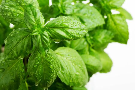 Fresh green basil leaves with water drops on it 스톡 콘텐츠