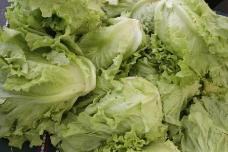 lettuces: ecological lettuces
