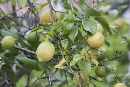 lemon tree: �rbol de lim�n con limones en agosto