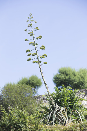 invasive plant: Yellow Agave. Invasive plant of American origin.